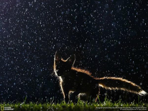 2-foto-animali-volpe-sotto-la-pioggia-nella-notte.jpg