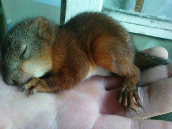 2-scoiattolo-minsk-piccolo-appena-salvato.jpg