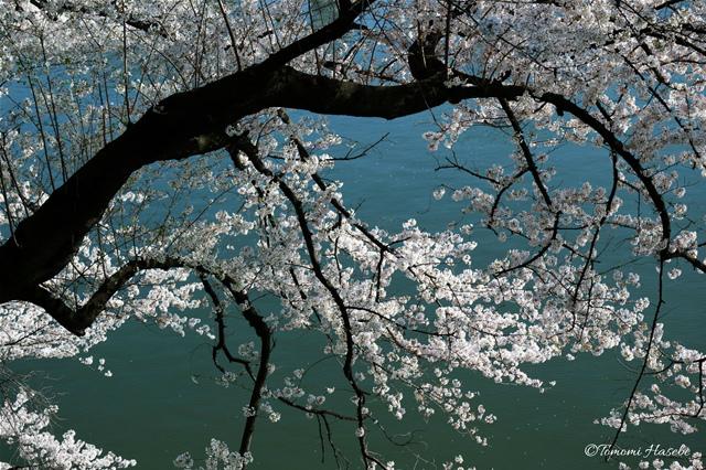 32-Sakura 2015 IMG_0479_GF.jpg