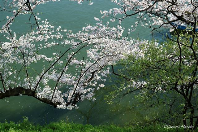 33-Sakura 2015 IMG_0481_GF.jpg