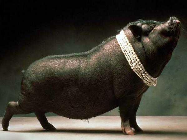 4-Baby-Pigs89.jpg