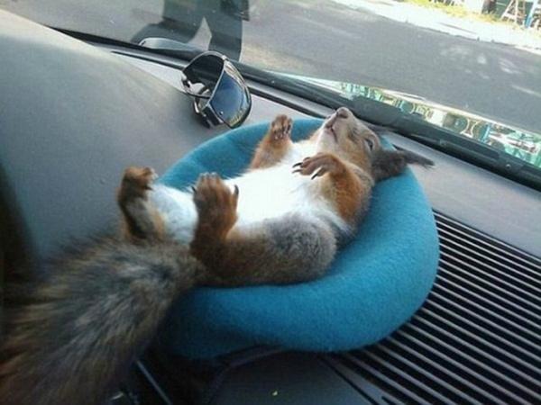 4-scoiattolo-minsk-dorme-su-cruscotto-taxi.jpg