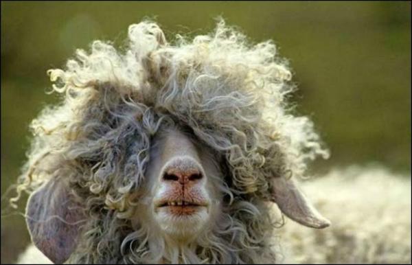 5-pecora-con-pelo-sugli-occhi.jpg