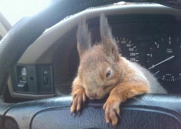 5-scoiattolo-minsk-su-cruscotto-taxi.jpg