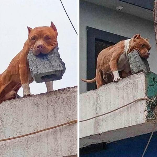 8-Ehi, il tuo cane morde Oh no, lancia solo mattoni!.jpg