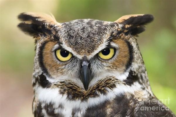 9-great-horned-owl-jill-lang_GF.jpg